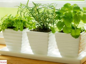Top Five Herbs to Grow Indoor All-Year Around